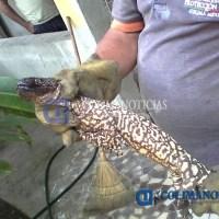 Protección Civil asegura en Tecomán a lagarto altamente venenoso