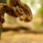 boa en Colima 150x150 - Profepa reintegra un lagarto enchaquirado y una boa constrictor a su hábitat, en Colima