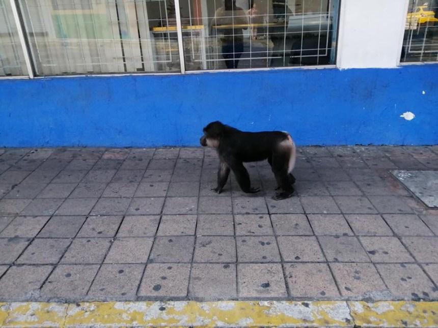 mono caminando en el centro fotos de Fernando Ross - Sorprenden a mono caminando en las calles del centro de Colima (Video)