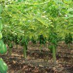 papaya 150x150 - Necesario voltear a otros países y no sólo a EU para exportar papaya: Rodríguez Guerra