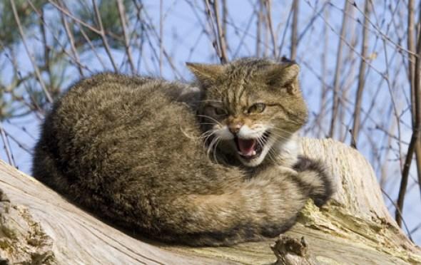 british_wild_cat_1