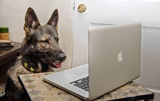 German Shepherd Looks at Computer
