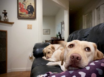 2 yellow labs snuggle on the couch