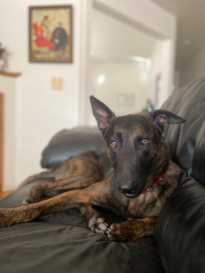 "Dutch Shepherd ""Tej"" lounges on the couch"