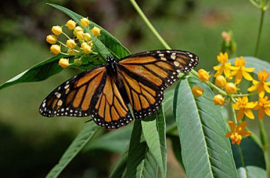 350px-Monarch_Butterfly_Danaus_plexippus_on_Milkweed_Hybrid_2800px