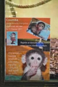 Coumba, a mangabey, Menagerie-Zoo, le Jardin des Plantes, Paris