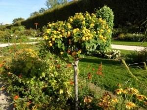 Jardin des Plantes - Lantana turned into a tree