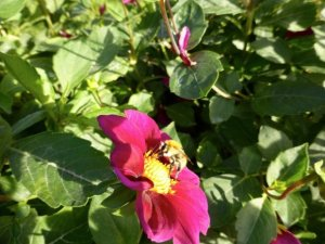 Insect menagerie Jardin des Plantes - bee (elbow antennae) on pink and yellow flowers