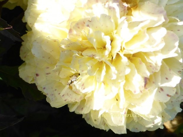 jardinsplantesyellowbug colleensparis