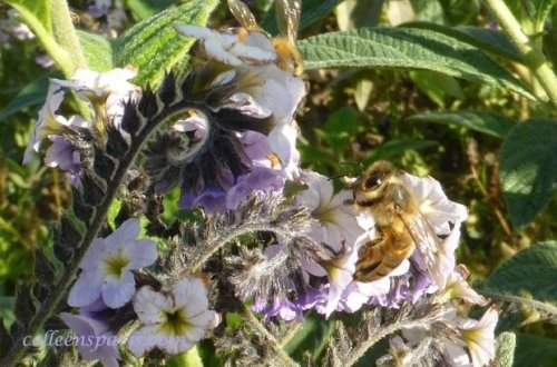 Insect menagerie Jardin des Plantes - bee (elbow antennae) on purple flowers