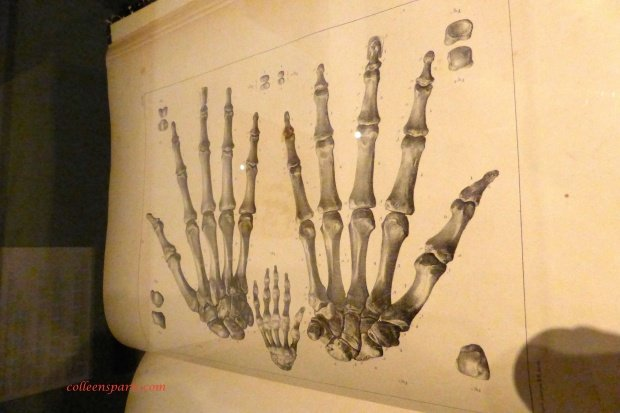Viollet le Duc anatomy hand study