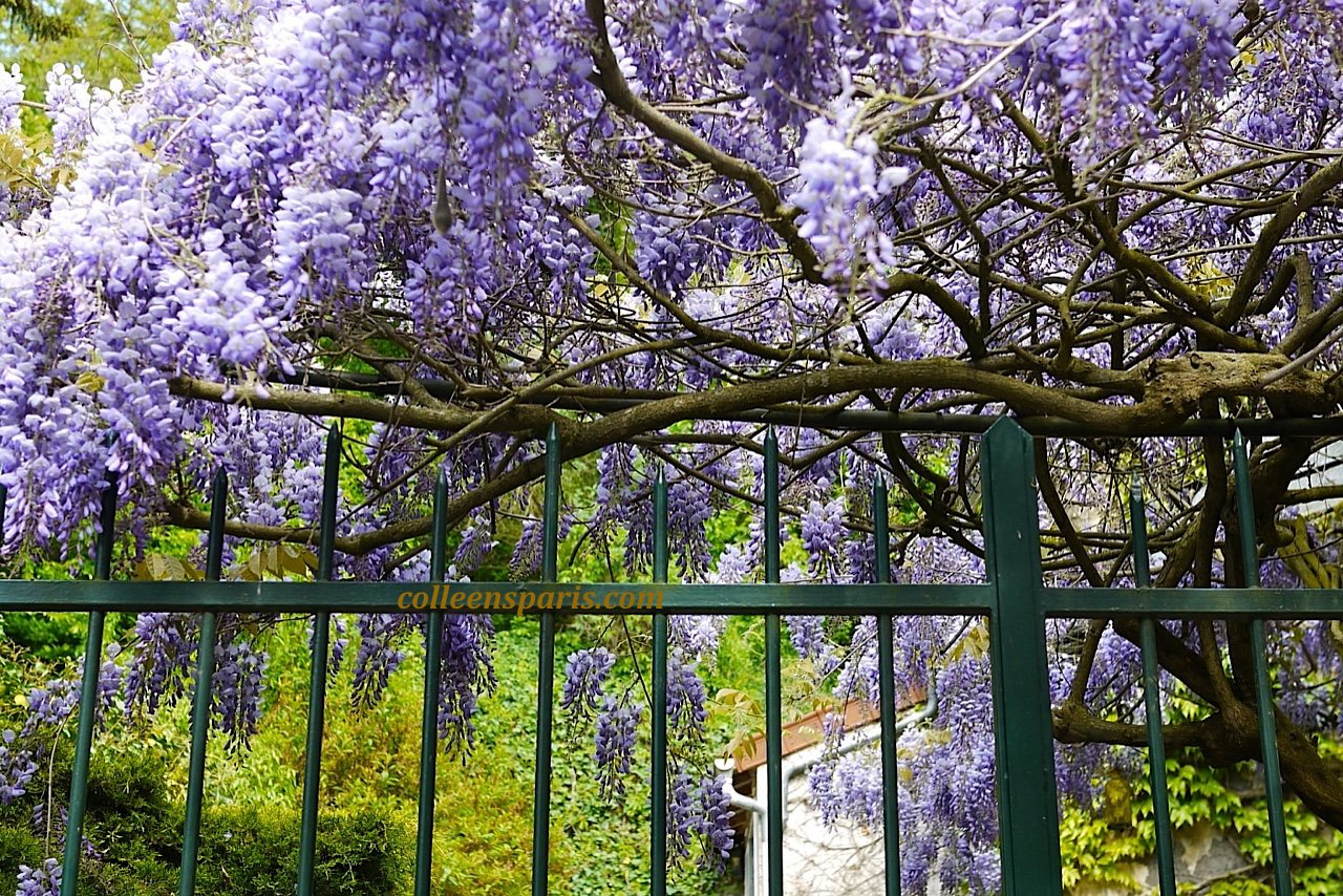 X0106 Auvers Wisteria colleensparis