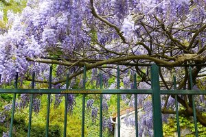 Auvers-sur-Oise blooming purple wisteria draping over fence