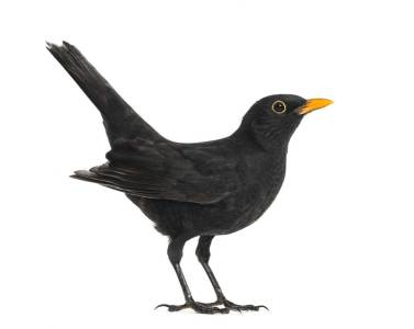 Blackbird Definition And Meaning | Collins English Dictionary