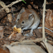 What Do Mice Eat Colonial Pest Control