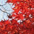 Feuilles rouges d'érable - Japon