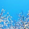sakura - cerisiers
