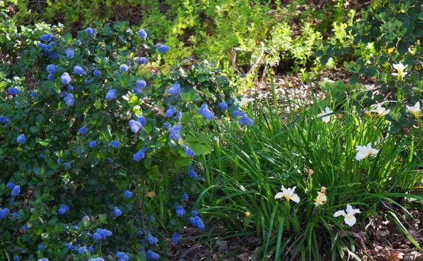 California native plants (Photo - Katie Hetrick, UC Davis Arboretum and Public Garden, flickr).