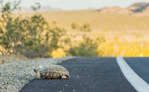 a turle crossing the road in the desert