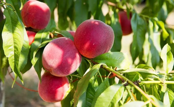 How to Plant the Perfect Peach Tree in San Gabriel Valley
