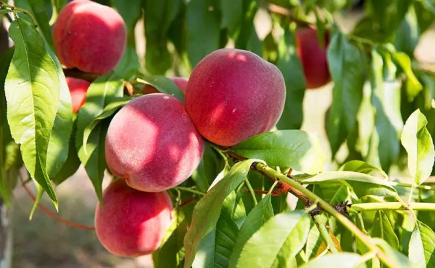 red peaches surrounded by green leaves