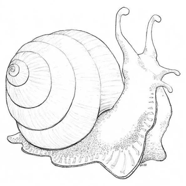a snail with its shell