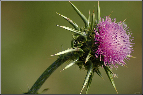 Milk thistle stops lung cancer in mice