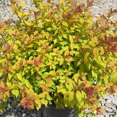 Shrubs-Spirea-japonica flaming mound