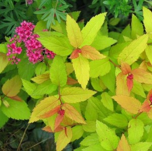 Spiraea Gold Flame close up