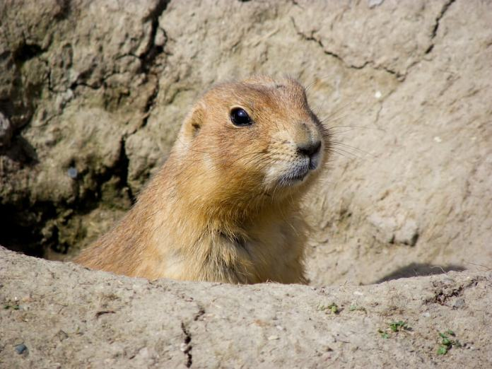 Prairie Dog. Photo by Sharon Drummond via Flickr: Creative Commons