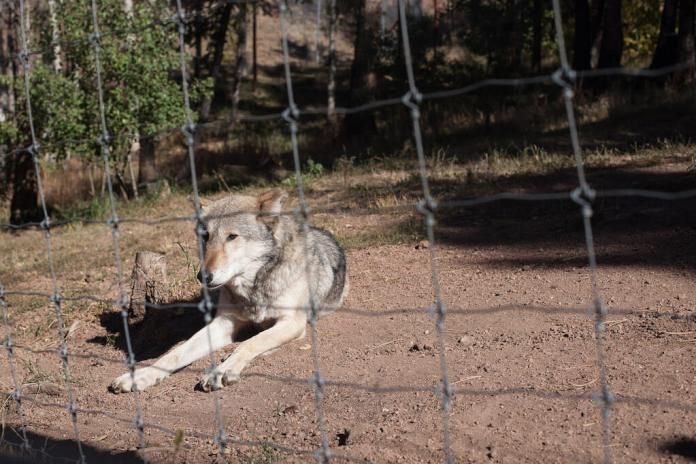Coloradans could decide next November whether the state should introduce the gray wolf to its public lands.This 11-year-old wolf, Koda, is among other wolves, coyotes, and foxes at the Colorado Wolf and Wildlife Center in Divide, CO. Koda was adopted from a wolf facility in Lake George, CO. (Photo taken Oct. 3, 2019 by Alesandra Tejeda)