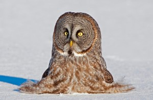 "Rob Palmer Photography: ""Cousin Its Cousin"" A Great Gray Owl sitting on the snow"