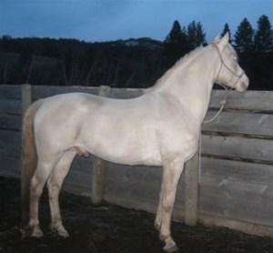 Perlino Morgan Stallion