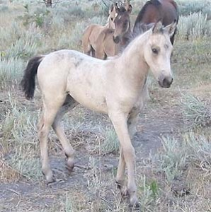 Devine Haley's Comet  (Blacksaddle Starbuck X KRP Pixie Pat)  Buckskin Filly  Foaled June 13, 2003  Congratulations to Susan Shrack of Texas