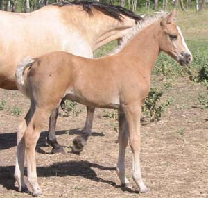 Devine Lucky Star  (Blacksaddle Starbuck X Devine Catalina)  Palomino Colt  Foaled June 13, 2003  Congratulations to Connie Ham & Jerry Askins of Washington