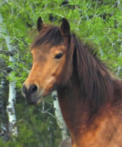 Buckskin Morgan filly