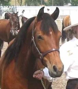Devine Esperanza  (Blacksaddle Starbuck x Good News Joy)  Foaled May 30, 2002  Congratulations to Stefany Truesdell & Mark Snavely of Redding, CA.