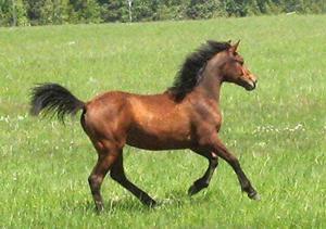 Devine Shenandoah  (Blacksaddle Starbuck x KRP Pixie Pat)  Foaled June 4, 2006  Congratulations to Marshal & Pam Voet of Montana