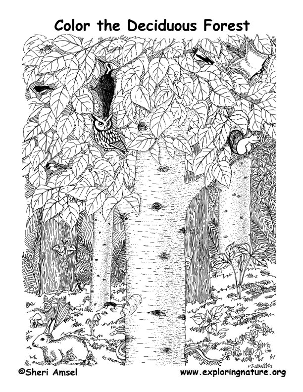 Deciduous tree posters and art prints. Deciduous Forest Coloring Nature