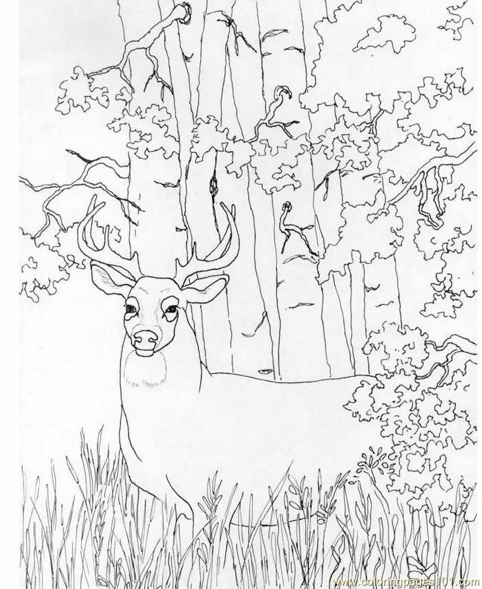 Whitetail Deer Coloring Page Free Deer Coloring Pages