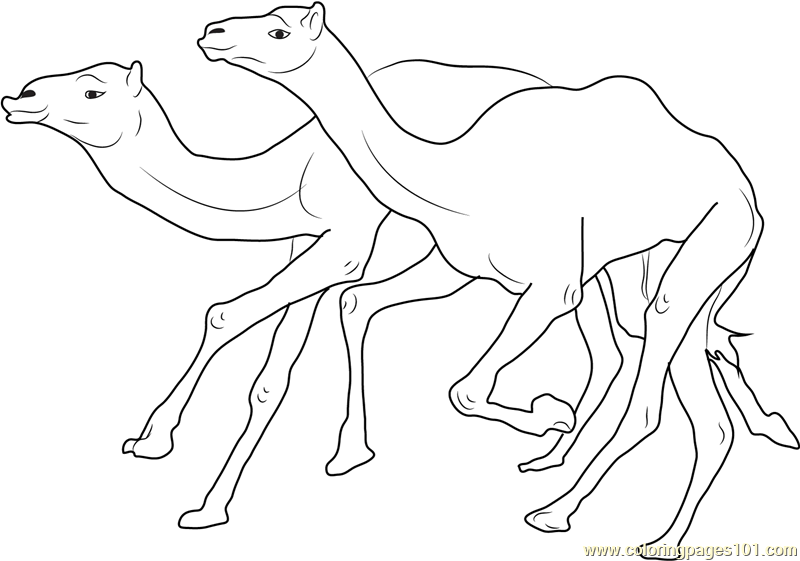 Camel Racing Coloring Page Free Camel Coloring Pages