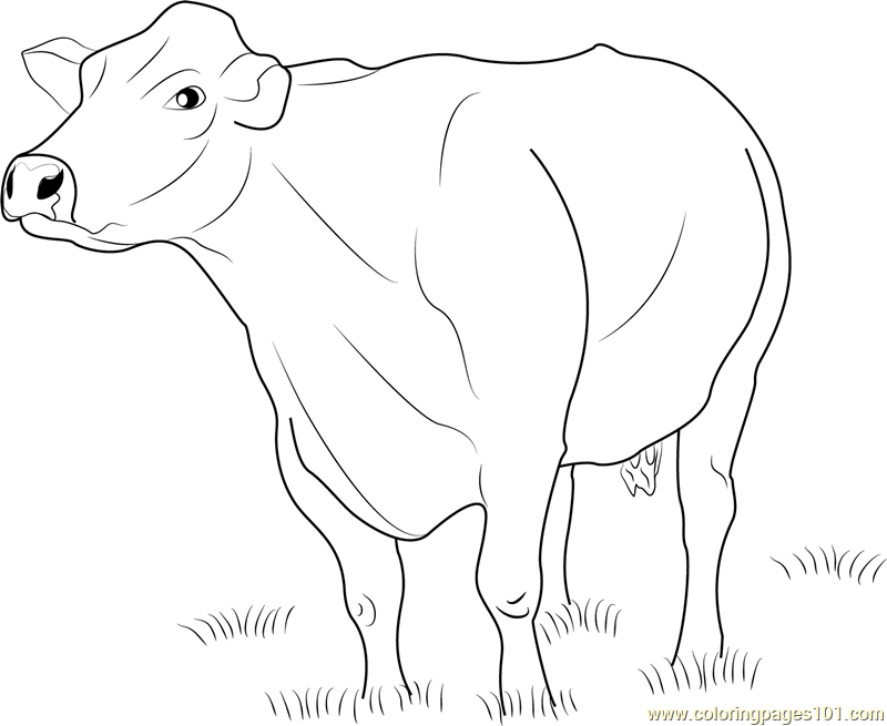 Jersey Dairy Cattle Coloring Page Free Cow Coloring