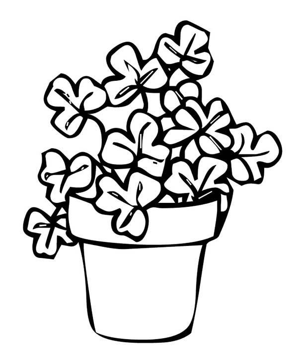 rare fourleaf clover on common threeleaf clovers