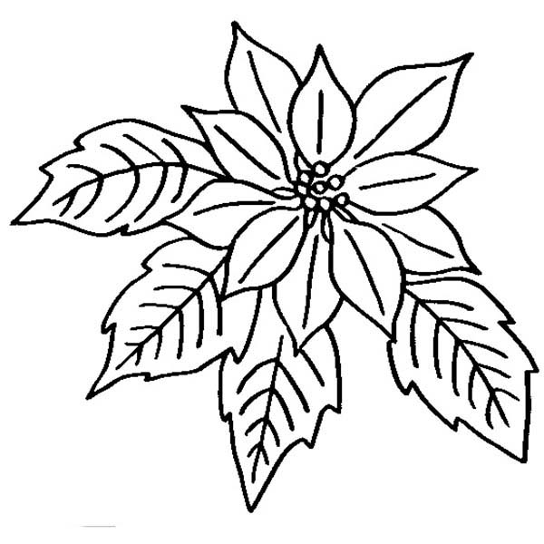 poinsettia in bloom coloring page  color luna