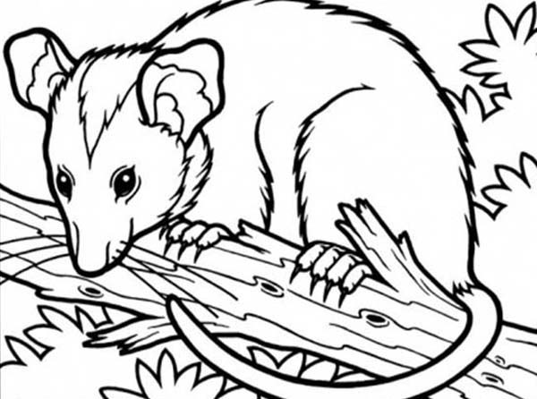 Possum Sitting On Tree Branch Coloring Page