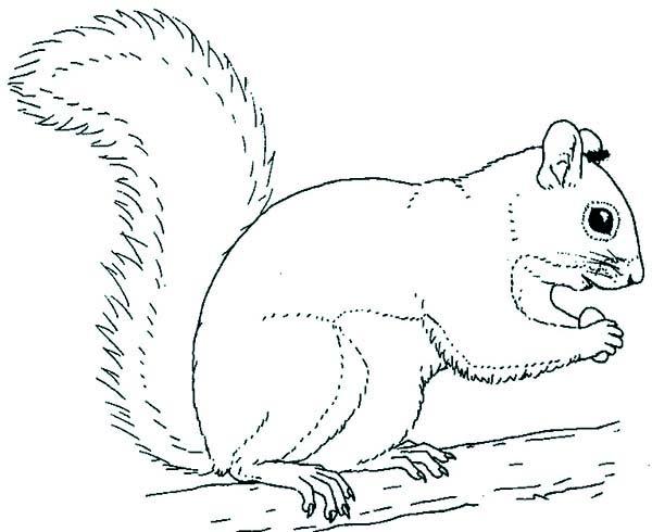 grey squirrel coloring page  download & print online