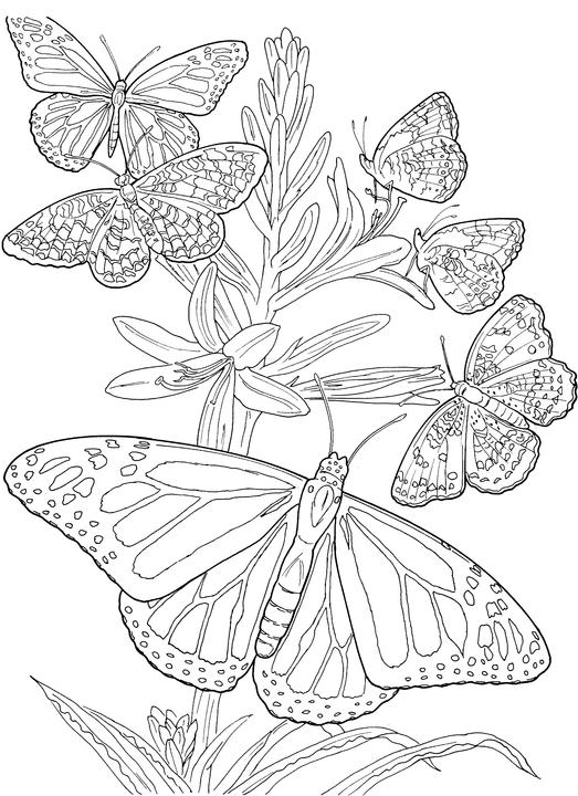 butterfly coloring pages for adults # 16
