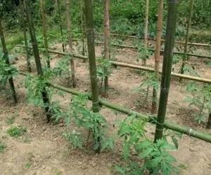 Coltivare pomodori biologici con legature e sostegni