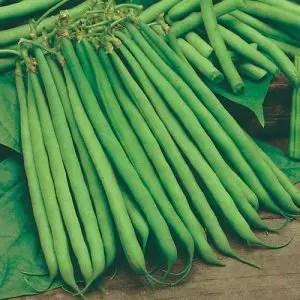 Coltivare fagiolini -ragnetto rosso- varietà nana slenderette