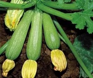 Zucchine varietà di Faenza